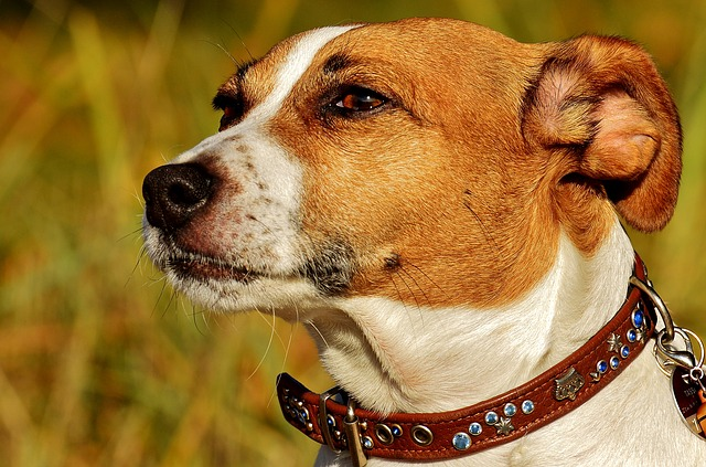 Jack Russell Terrier Frontal