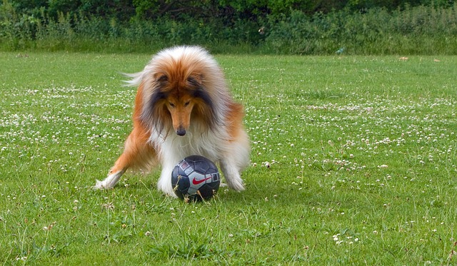 Rough Collie brincando