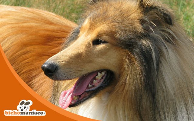 Rough Collie Destaque